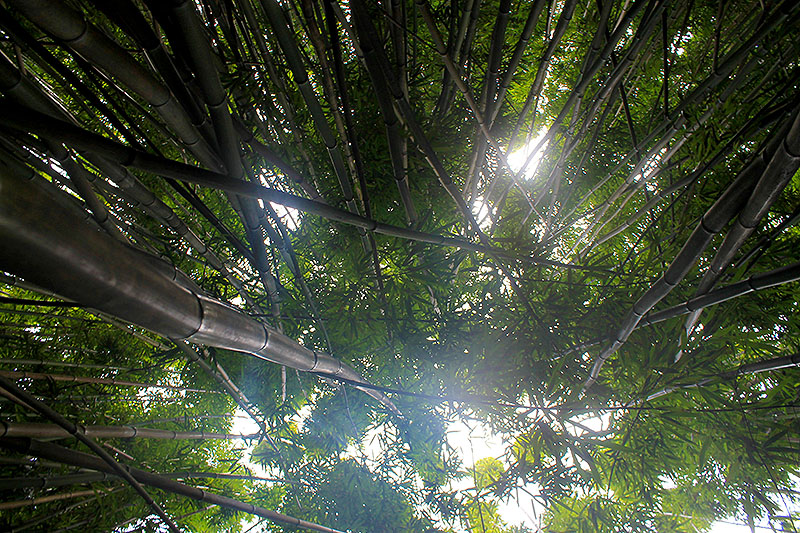 Bamboo Forest Up Shot