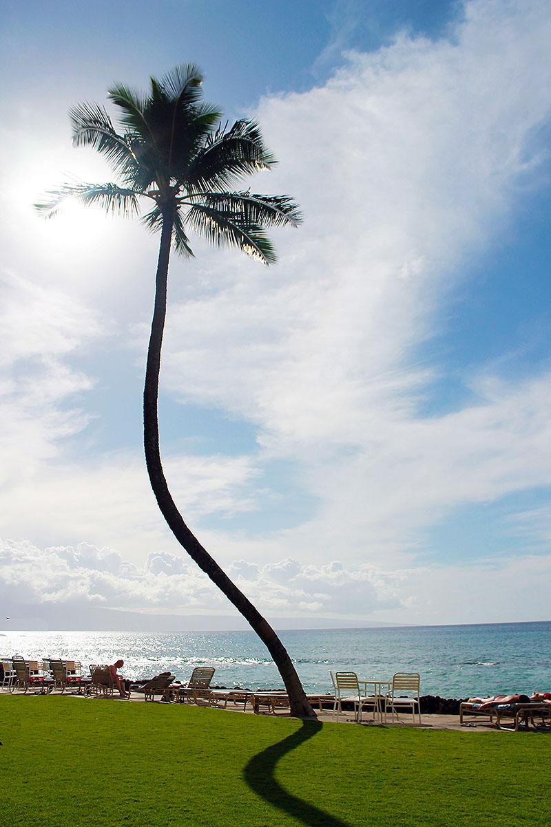 Curvy Palm at Condo in Maui