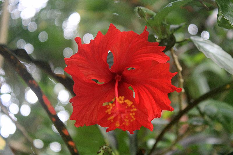 Hibiscus Rose Close Up