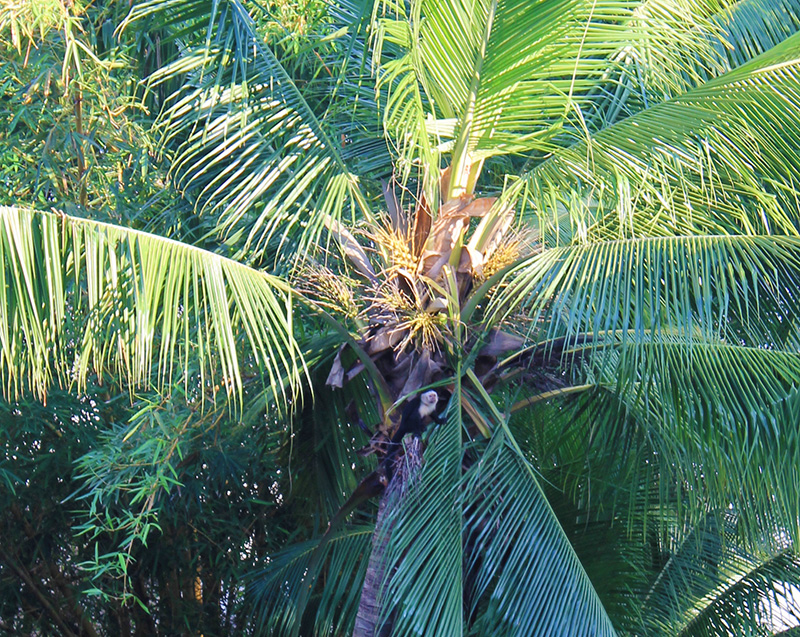 Monkey Middle of Palm