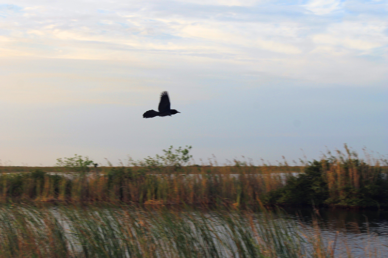 Bird Flying over Everglades